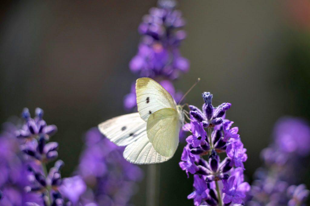 Lavendel kruidenstempel